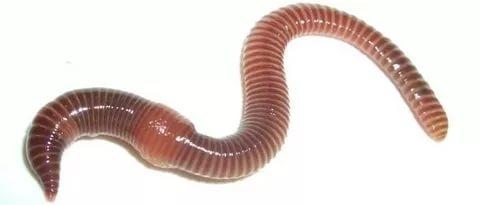 Живой червь дендробена