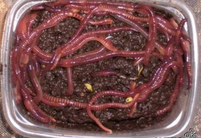 Живой червь навозный